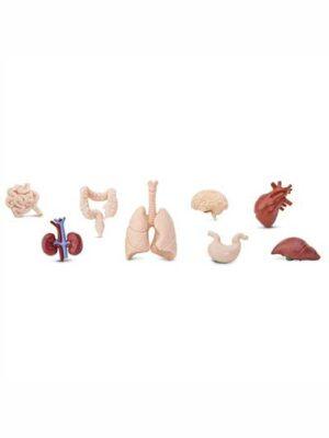 Orgány ľudského tela